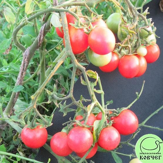Эко томаты свои семена
