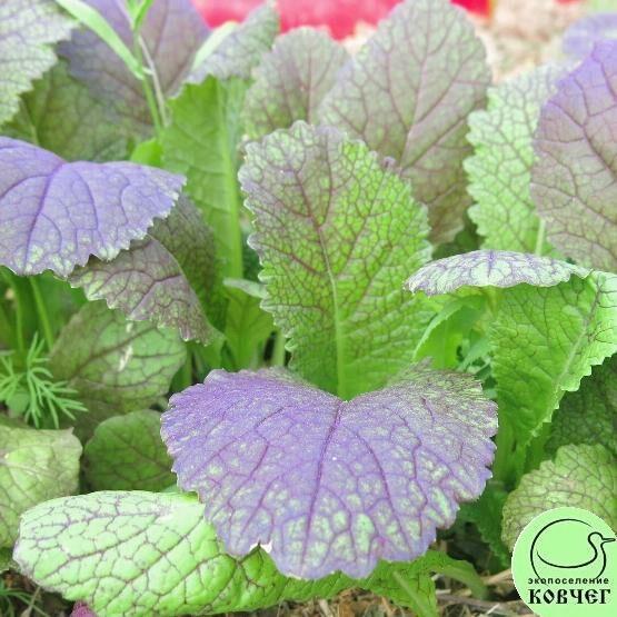 Семена горчицы салатной Красная горка