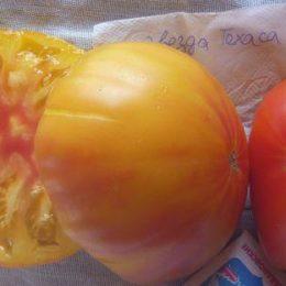 Семена томата Звезда Техаса