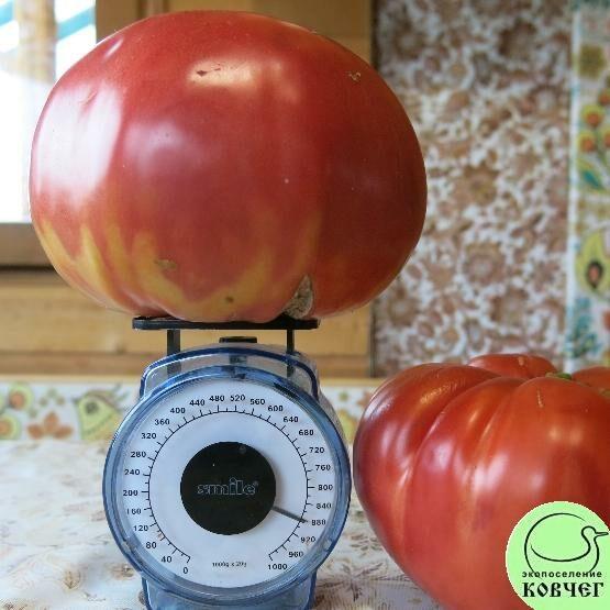 Семена томата Красный гигант