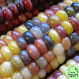 Семена кукурузы Индейская разноцветная