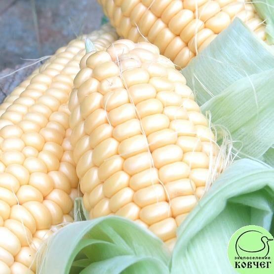 Семена кукурузы сахарной Медовая