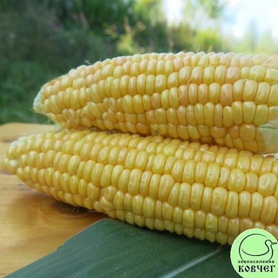Семена кукурузы сахарной Сахарный початок