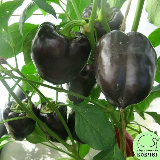 Семена перца сладкого Фиолетовый Васильева
