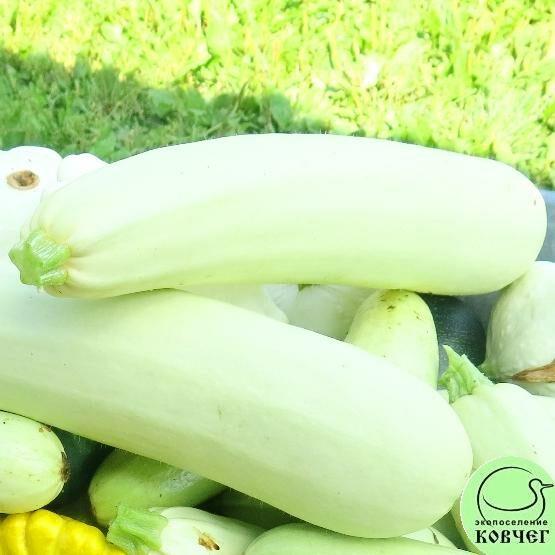 Семена кабачка Белоплодный