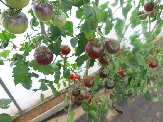 Семена томата Бест синий