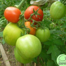 Семена томата Крайний Север