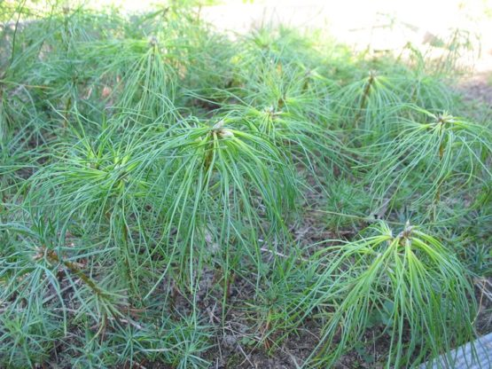 Сеянцы хвойных и лиственных пород