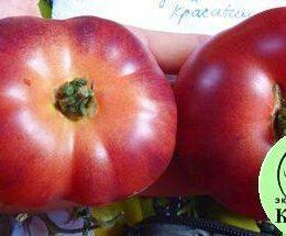 Семена томата Голубая красавица
