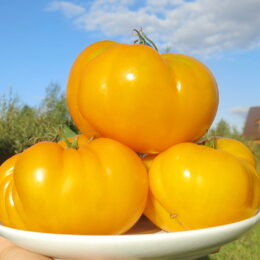 Семена томата Золотая Королева