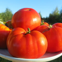 Семена томата 33 богатыря (из Беларуси)