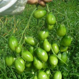 Семена томата Баттерфляй