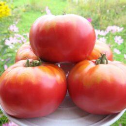 Семена томата Египетский великан