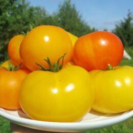 Семена томата Азочка (Азоюшка)