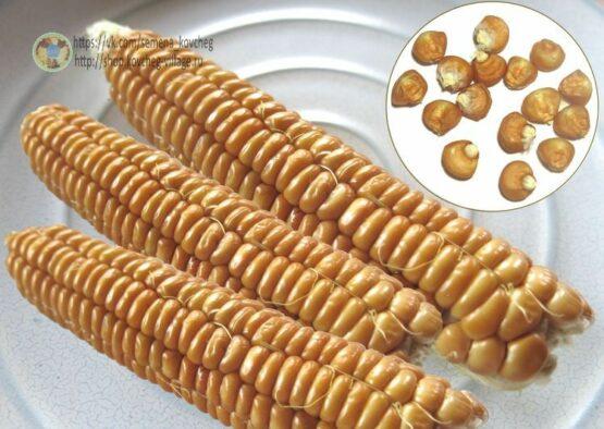 Семена кукурузы Бронзово-оранжевая
