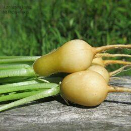 Семена редиса Злата