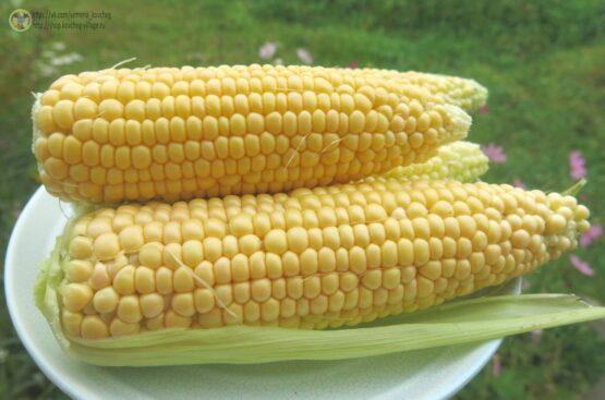 Семена кукурузы сахарной Алина