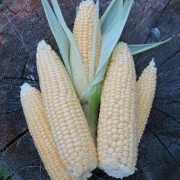 Семена кукурузы сахарной Сахарная лакомка