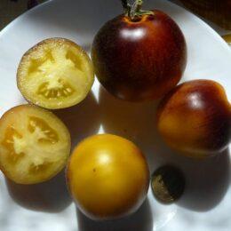Семена томата Бархатная Катя в жёлтом