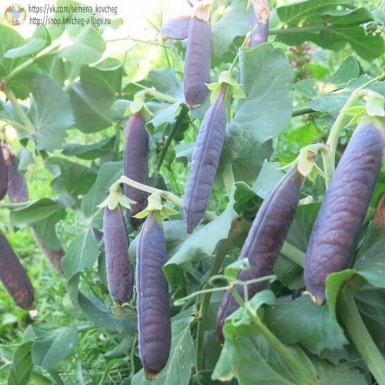 Семена гороха лущильного Фиолетовый сахар