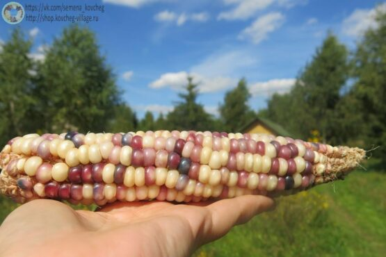 Семена кукурузы Стеклянный калейдоскоп