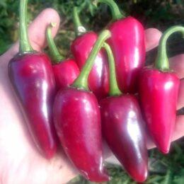 Семена перца острого Халапеньо Чёрный