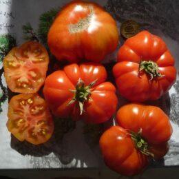 Семена томата Хомс 11