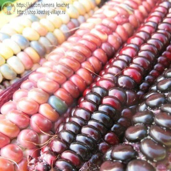 Семена кукурузы Цветная кукуруза ацтеков