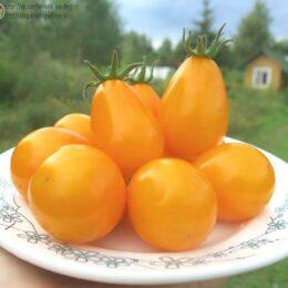 Семена томата Жёлтые лампочки из Лопатино