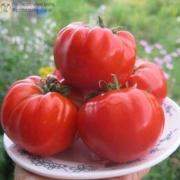 Семена томата Гигантисика