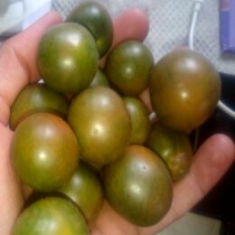 Семена томата Сердитая Маслина