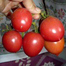 Семена томата Славянка